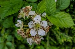Nettle Flowers Royalty Free Stock Photos