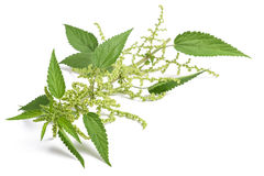 Nettle with flowers Stock Image