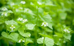 nettle flowers / shallow dof stock images