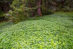 Nettle, forest Stock Photos