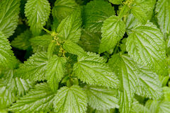 Nettle Fresh Growing Natural Royalty Free Stock Images