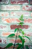 Nettle in front of brick wall stock photos