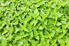 Nettle. Green nettle bright sunlight, nettles in summer, background of green nettle stock images