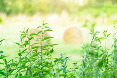 Nettle growing near the field, medicinal plant stock image
