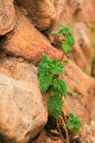 Nettle growing among the rocks Stock Photography