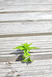 Nettle growing between wooden boards. Royalty Free Stock Photo