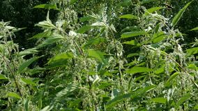 Nettle. Healthy herb. Young common nettle leaf or Urtica dioica in springtime in bright sunlight. Medical herb in. Classic and alternative medicine. Selective stock video