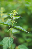 Nettle herb. Image of the herb Nettle growing in a garden Royalty Free Stock Image