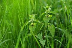 Nettle hiding in the grass Stock Image