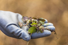 Nettle hold in hand wearing a glove Royalty Free Stock Images