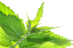 Nettle. Isolated on white background stock photos