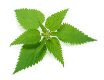Nettle. Isolated on white background royalty free stock photography