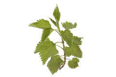 Nettle isolated on white Stock Image