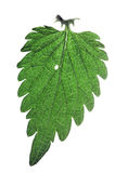 Nettle leaf Royalty Free Stock Photography