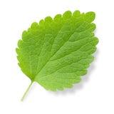 Nettle leaf. Stinging nettle (Urtica) green leaf isolated on white background stock images