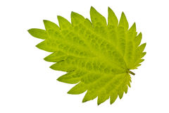 Nettle leaf Stock Photo