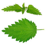 Nettle leaf and branch. Set of green nettle branch and leaf stock photos