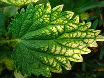 Nettle leaf. The Nettle leaf with a bright hue stock image