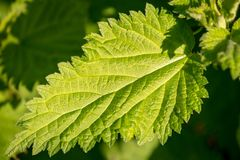 A Nettle Leaf. A close up of a nettle leaf, with a shallow depth of field royalty free stock photo