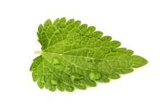 Nettle leaf with dew drops. Close up isolated on white background royalty free stock photos