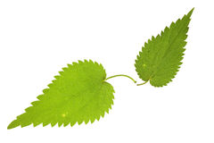 Nettle leaf on isolated Royalty Free Stock Images