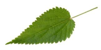 Nettle leaf isolated. On white background stock images