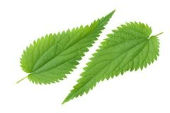 Nettle leaf isolated on white background. medical herbs. royalty free stock photography