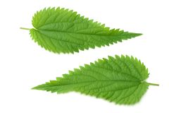 Nettle leaf isolated on white background. medical herbs. stock photography