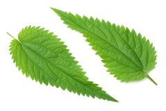Nettle leaf isolated on white background. medical herbs. royalty free stock photo