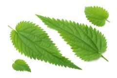 Nettle leaf isolated on white background. medical herbs. royalty free stock images
