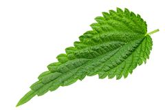 Nettle leaf close-up. Nettle leaf isolated on white background. the texture of the leaf is clearly visible. medical herbs royalty free stock image