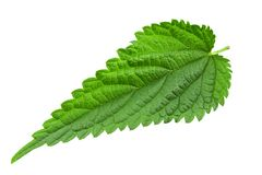 Nettle leaf close-up. Nettle leaf isolated on white background. the texture of the leaf is clearly visible. medical herbs royalty free stock images