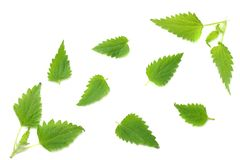 Nettle leaf isolated on white background. top view. medical herbs. royalty free stock photo