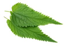 Nettle leaf isolated on white background. top view. medical herbs. stock photo