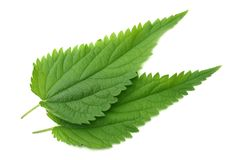 Nettle leaf isolated on white background. top view. medical herbs. stock photos