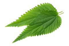 Nettle leaf isolated on white background. top view. medical herbs. stock images