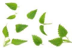 Nettle leaf isolated on white background. top view. medical herbs. stock image