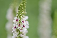 Nettle leaf mullein Verbascum chaixii. Close up of nettle leaf mullein Verbascum chaixii in bloom royalty free stock photos