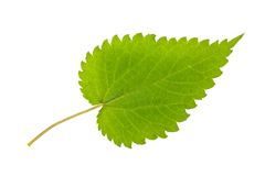 Nettle leaf Royalty Free Stock Images