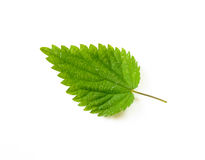 Nettle Leaf. A stinging Nettle leaf on white background royalty free stock image