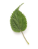 Nettle leaf. Nettle leaf on a white background stock photos