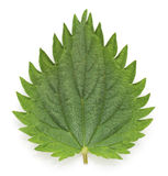 Nettle leaf. Nettle leaf on a white background stock image