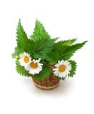 Nettle leaves and chamomile flowers on a white background Stock Photos