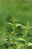 Nettle. Royalty Free Stock Photography