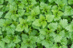 Nettle leaves. Green nettle leaves as a background Stock Image