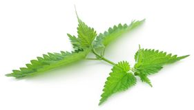 Nettle leaves. Green Nettle leaves that have many kinds of madicinal value over white background stock photography