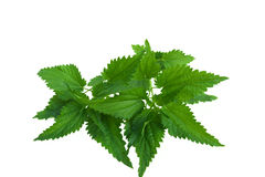 Nettle leaves Royalty Free Stock Image