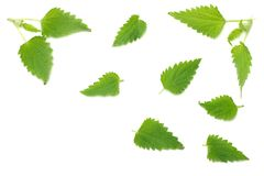 Nettle leaves isolated on white background. top view. medical herbs. royalty free stock image