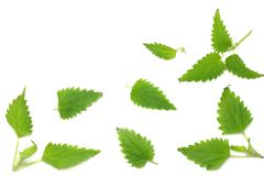 Nettle leaves isolated on white background. top view. medical herbs. royalty free stock images