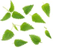 Nettle leaves isolated on white background. top view. medical herbs. stock photo